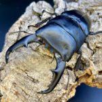 マリンドッケオオヒラタ 飼育記録①(種親入手・産卵セット・割り出し・幼虫飼育)