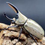 グラントシロカブト 1サイクル目飼育記録(種親入手・ペアリング・産卵・幼虫飼育)